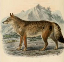 000  Wolf (Canis Lupus)