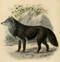 001  Wolf (Canis Lupus)
