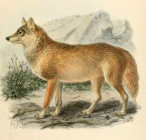 002 Wolf (Canis Lupus)