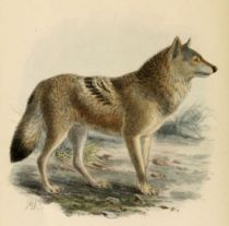 003 Wolf (Canis Lupus)