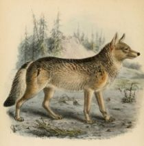 004 Wolf (Canis Lupus)