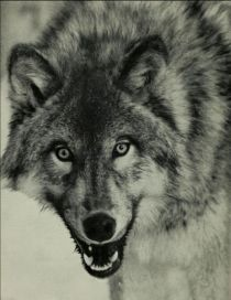 005 Wolf (Canis Lupus)